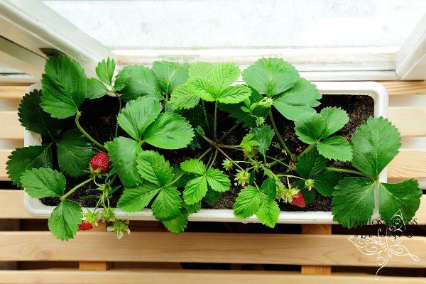 Strawberry window pots
